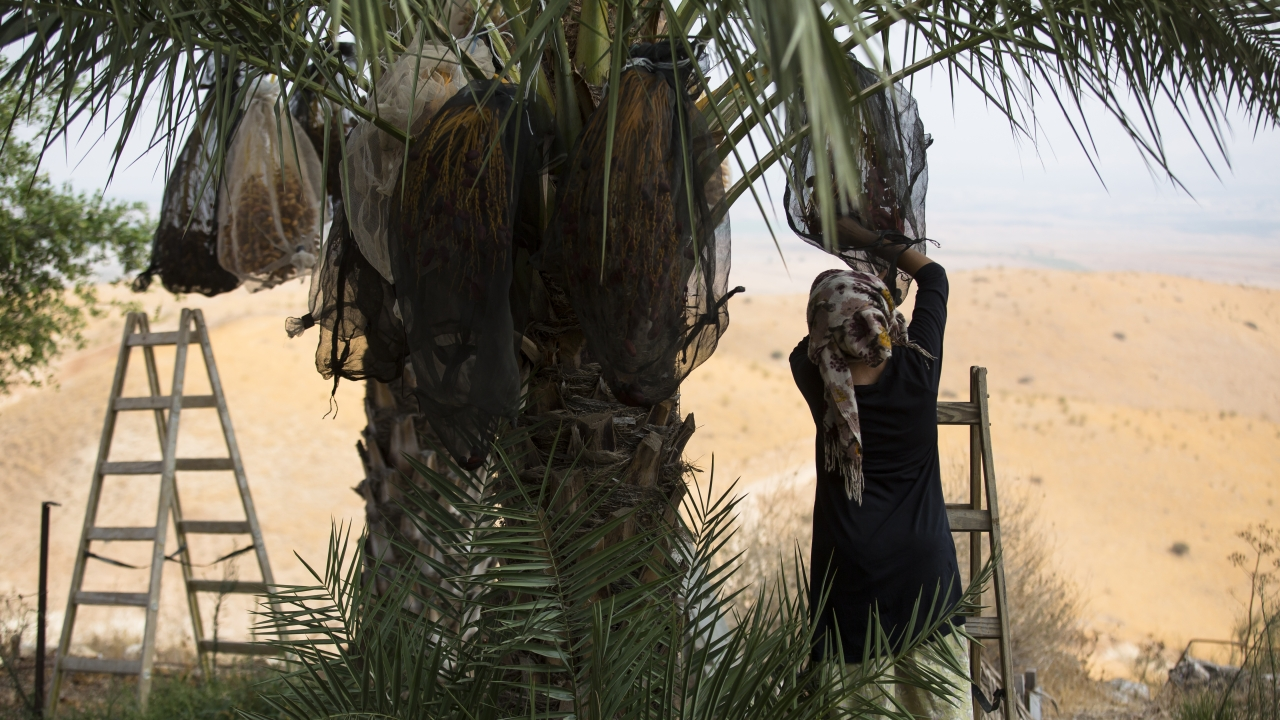 A woman harvests dates on an Israeli settlement in the Palestinian territories