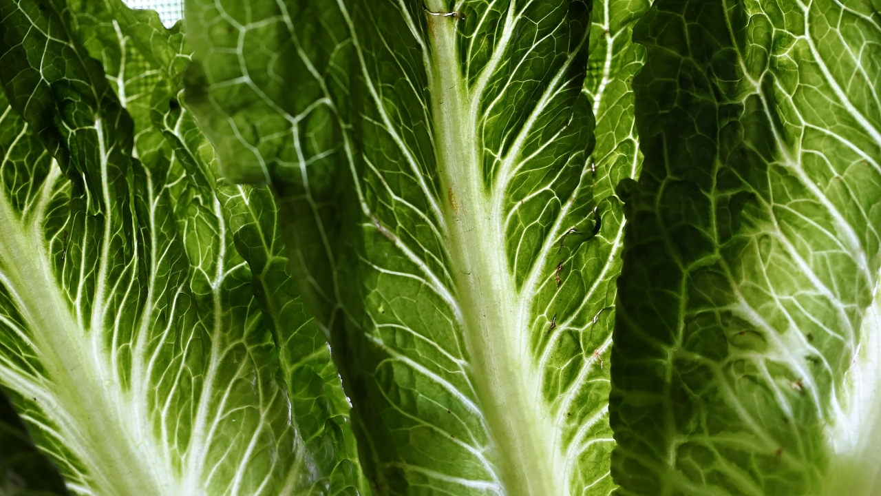 Over 100 Cases Reported In E. Coli Outbreak Linked To Romaine Lettuce