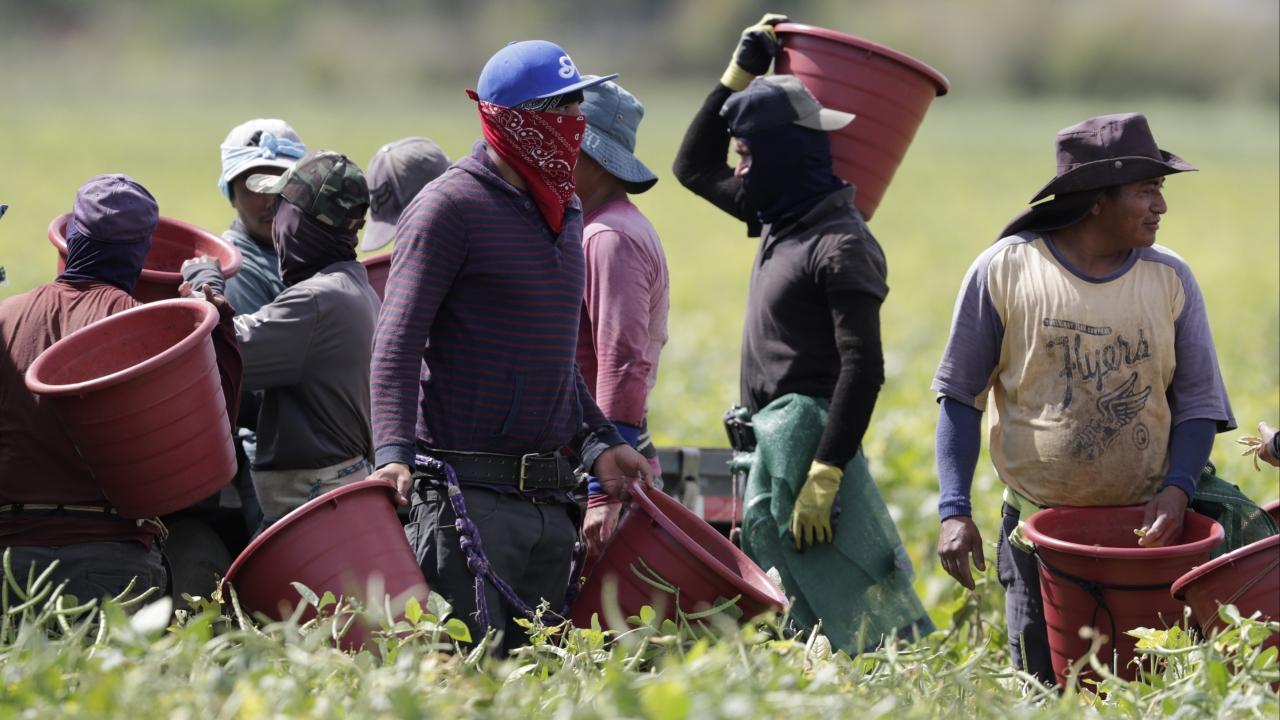 Farmworkers harvest beans in Homestead, Florida amid Coronavirus pandemic.